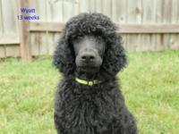 I have a beautiful litter of AKC Standard Poodles ready