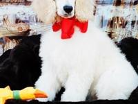 AKC male basic poodle 13 week old child prepared for