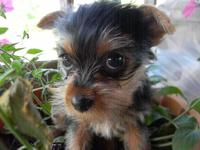 This cutie is black/tan in color . She is up to date on