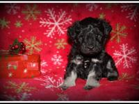 This is Cupid. He is an AKC Toy Miniature Schnauzer