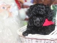 AKC Toy Poodle puppies for sale. I presently have 3