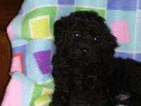 AKC Toy Poodle pups definitely cute and prepared to go