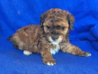 Beautiful AKC Toy Poodle puppies available! Their is 2