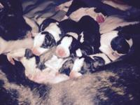 7 beautiful whippet puppies born 6-12-15. 3 girls 4