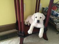 AKC Reg. White Labrador puppies the photo is of the