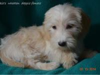 This beautiful wheaten dapple female dachshund puppy is