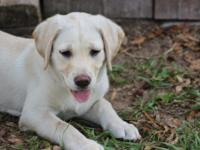I have 2 BEAUTIFUL female yellow Lab puppies born