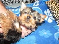 Beautiful little yorkie boy! He is 10 weeks old and