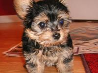 Beautiful AKC Yorkie Puppies from Champion Dad & Mom.