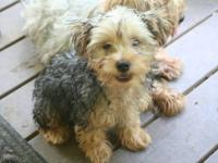 I have 3 male and 1 female AKC registered Yorkie