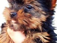 I have a litter of adorable purebred AKC yorkie
