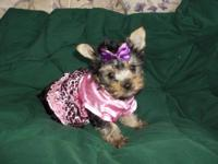Yorkie Puppies, Just in time for Christmas. Beautiful &