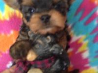 Beautiful Toy akc yorkies 6.5 weeks old, parents on