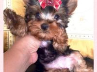 Cute and super tiny 10 weeks old Yorkie puppy, female.