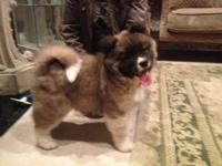 Beautiful Akita Puppies for sale.You can contact us for