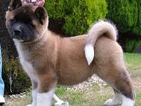 Beautiful litter of 8 Akita puppies  4girls 4boys
