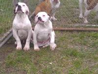 Got two American Bulldog pups for sale. there blood
