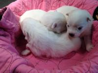 Registered, Female American Eskimo Pups. Beautiful snow
