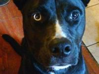 Beau is believed to be a catahoula/boxer mix and was