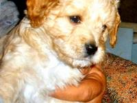 3 beautiful male Cavapoo puppies for sale! They were