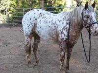 7 year old registered leopard appaloosa mare (Justa