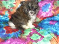 Small and attractive CKC Pomeranian Puppies. 2 males