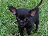 I have 3 beautiful apple head chihuahuas ready for a