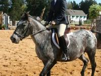 Large pony to experienced horse family. She has been