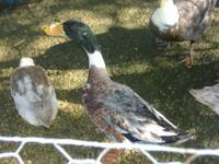 2 Year Old Male & Female Welsh Harlequin Mix Ducks.