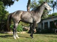 Dapple Grey /Rose Grey, 16 hand tall, Appendix Mare.