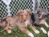 I have a blue merle female(400), minimum blue merle