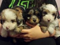 I have 3 toy Aussiedoodle young puppies for sale. The