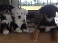 Lovely, Healthy Aussie puppies ready to go to their new