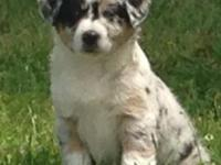 Adorable Australian Shepherd puppies for adoption. The