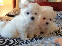 2 beautiful MALTESE male puppies 8 wks old, ready for a
