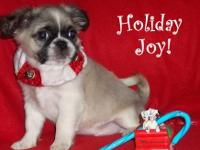 little boy!!!! He is from our friends Pekingese (long