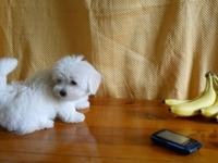 Hi I have a Beautiful Female Baby Maltese. I just got