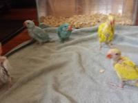 Beautiful spring baby Indian Ringnecks........  7-8