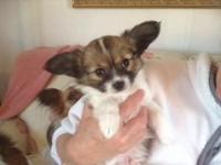 papillon child. Super smart raised as part of the