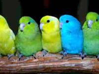 Parrotlets As Pets, Their Temperament, Health, Origin &