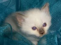 BEAUTIFUL traditional Balinese kitten -male- available.