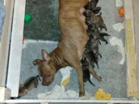 From a litter of Bandogge young puppies. They have