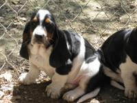 Beautiful CKC Basset Hound babies ready for their new