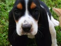 Basset Male presently available. Moms and dads are