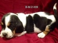 River is a lovely male AKC Registered tricolor Basset