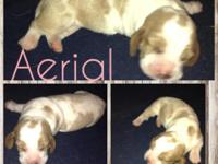 7 BEAUTIFUL BASSET HOUND PUPPIES FOR SALE. WE HAVE 1