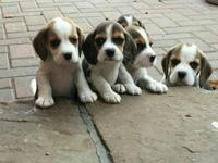 Here we have our gorgeous litter of beagle puppies. We