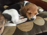 Pure Beagle Puppies ready for new home Oct 24. 3 Males