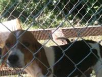 We have several beagles to sale. All utd on shots and