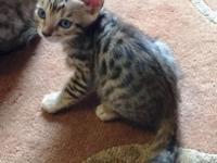 This beautiful Bengal girl was born on August 8, 2015..